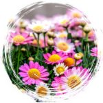 chrysanthemum–akceptacja-54