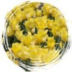 tulipan.a-wspołdziałanie54
